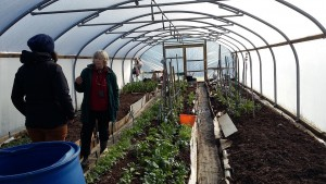 In winter things can still grow in the two polytunnels